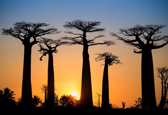Last lights on Baobabs
