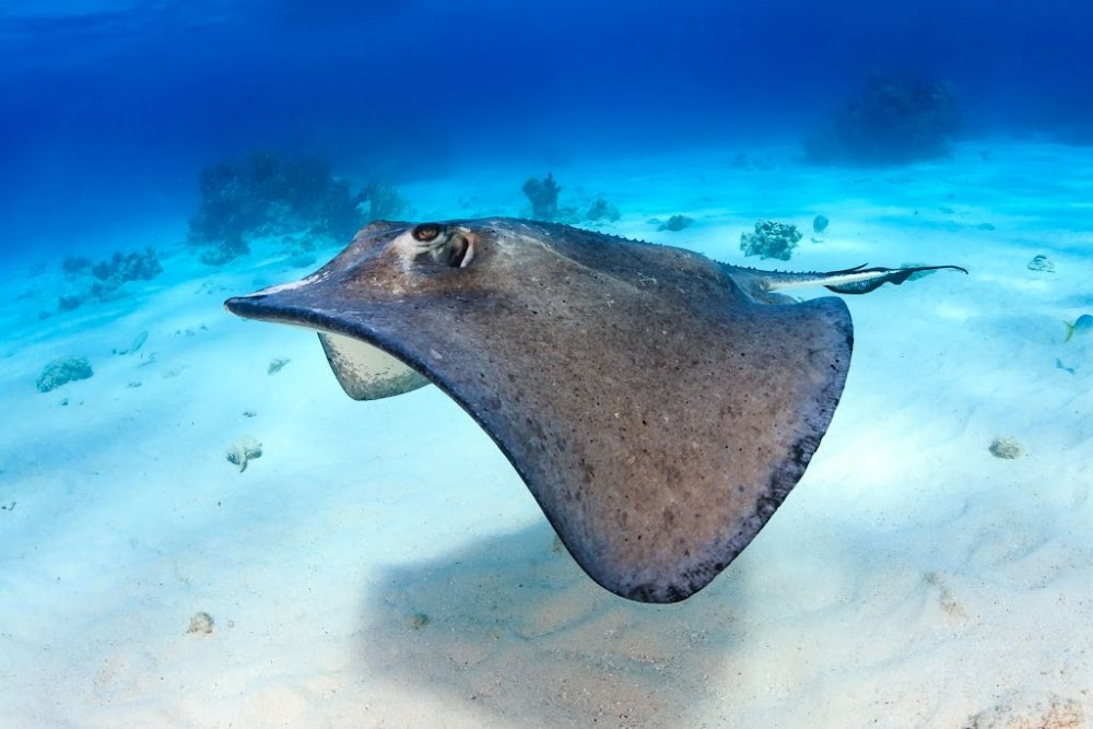 Swimmer Killed By Stingray, Two Mauled By Sharks In Australia