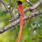 Indian paradise flycatcher / வேதிவால் குருவி