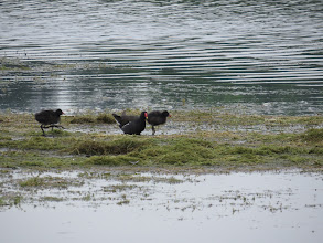 Photo: 25 Jul 13 Priorslee Lake: My: what big feet you have! Two juvenile Moorhens and a parent clamber over the 'bund' of cut Canadian Pondweed alongside the N shore of the lake. (Ed Wilson)