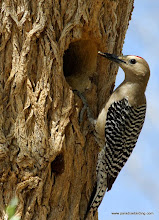 Photo: Adult male Gila Woodpecker delivering food to nestlings along the Santa Cruz River outside Nogales, Arizona