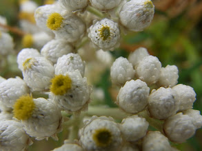 Photo: Pearly everlasting