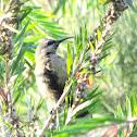 Takazze Sunbird