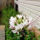 Spiny Spider Flower