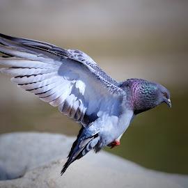 Dove. by Mai Phung - Animals Birds