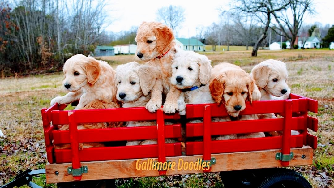 Gallimore Doodles Doodle Breeder In Nc Specialist On F1b