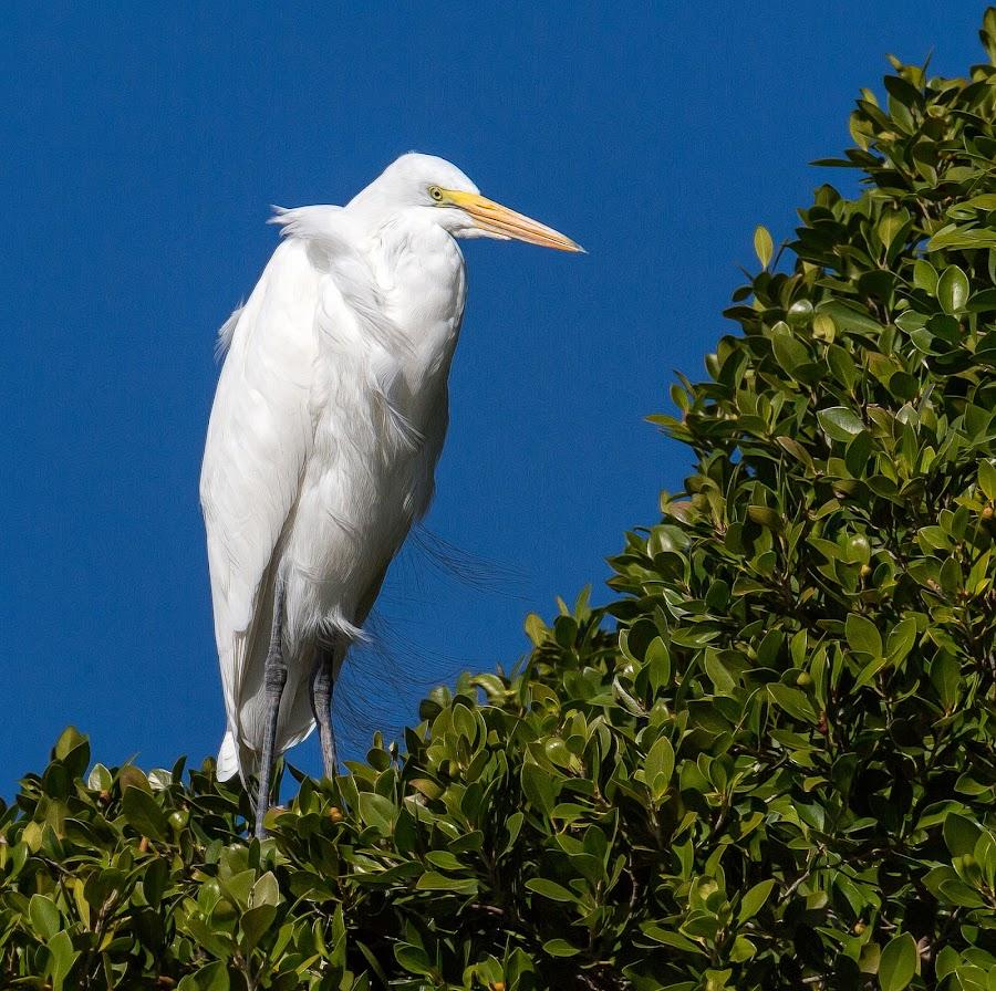 Great Egret by Dave Lipchen - Animals Birds ( great egret )