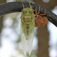 Cicadas of the World