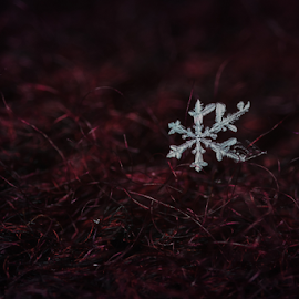 Alone by Tomáš Celar - Nature Up Close Water ( sweater, detail, frost, snowflake, close up, macro, winter, red, crimson, flake, ice, snow, darkness, alone,  )