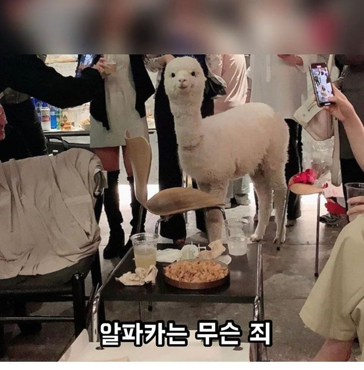 cheongdam party alpaca