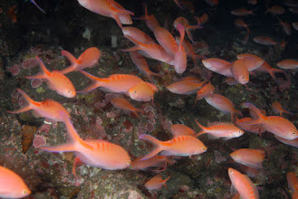Photo: Lots of Lori's Anthias