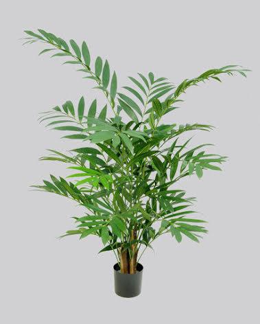 Parlour Palm - 125cm & 150cm
