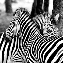 Sécurité by Gérard CHATENET - Black & White Animals