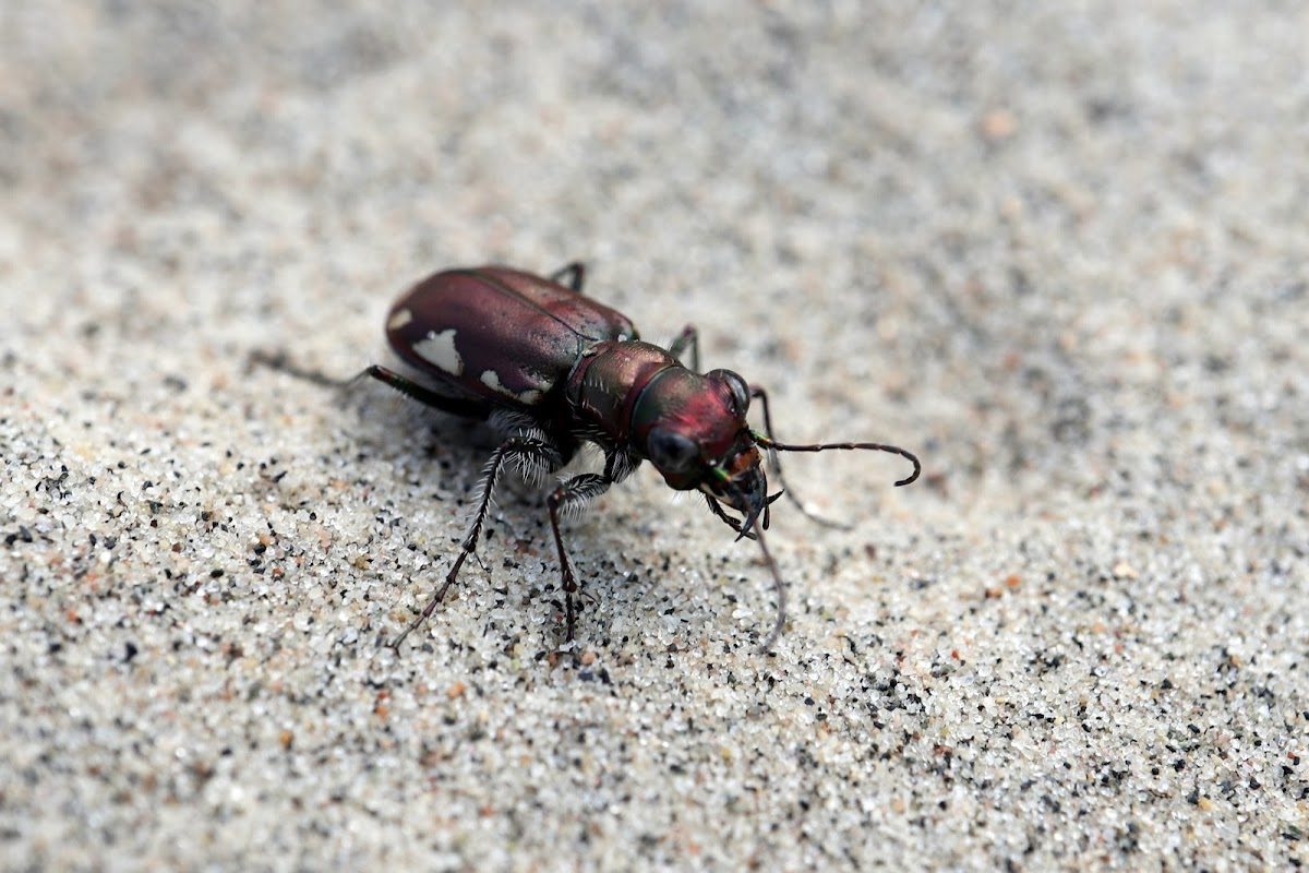 LeConte's Tiger Beetle