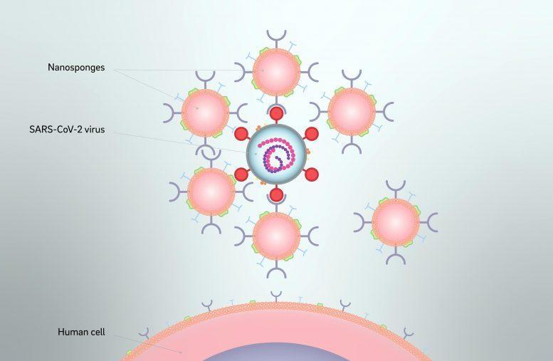 Nanosponges SARS-CoV-2 Virus