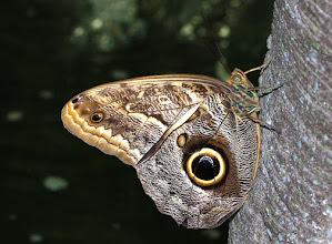 Photo: Uilvlinder - foto:  Arjan Groenenboom