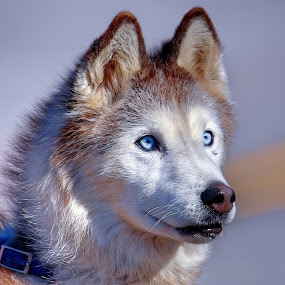 Miss Bell by Sue Delia - Animals - Dogs Portraits ( siberian husky, age, dog, huskey,  )