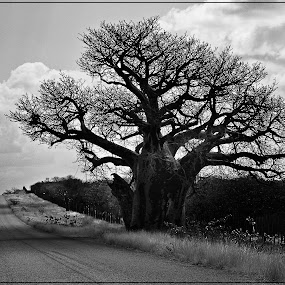 Baobab Tree by Elna Geringer - Black & White Flowers & Plants (  )