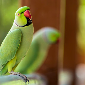 Indian Parrot by Sudhir Chandra - Animals Birds