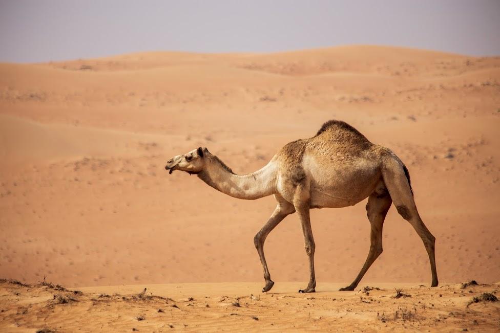 Oman, pustynia, wielbłąd