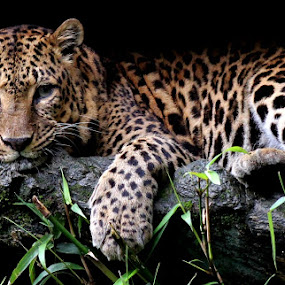 Lay down by Abdul Kadir - Animals Other Mammals