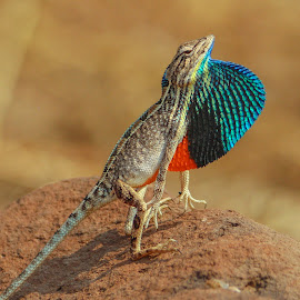 FAN THROATED LIZARD- Sarada Superba  by Indrajit Bhat - Animals Reptiles ( advanture, #fanthroatedlizard, #nature, #close-up, #outdoor, #animals, #color, #wild, #lizard, #wildlife )