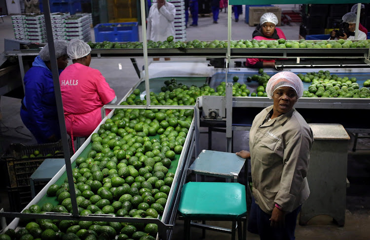 Workers sort avocados at a farm factory at Nelspruit in Mpumalanga.