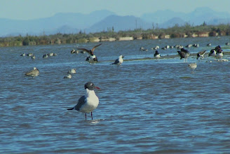 Photo: Laughing gull (migrant).