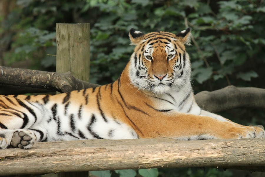 by Isaac Hartill - Animals Lions, Tigers & Big Cats ( tiger, dudley zoo )