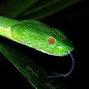 Sabah Pit Viper