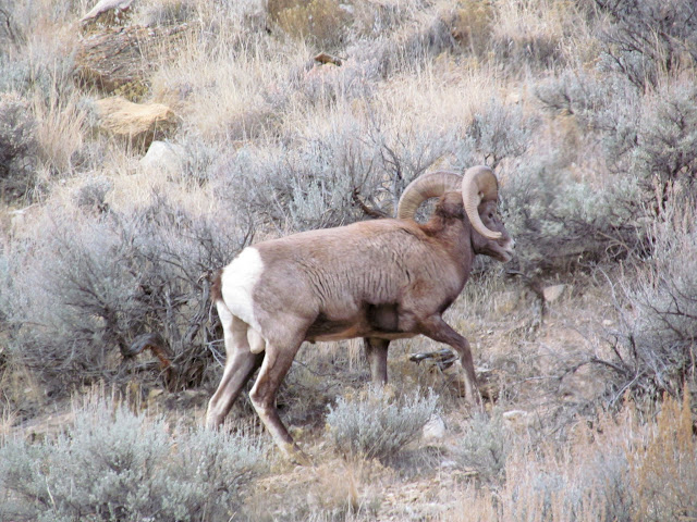 Bighorn sheep at the mouth of Cottonwood Canyon