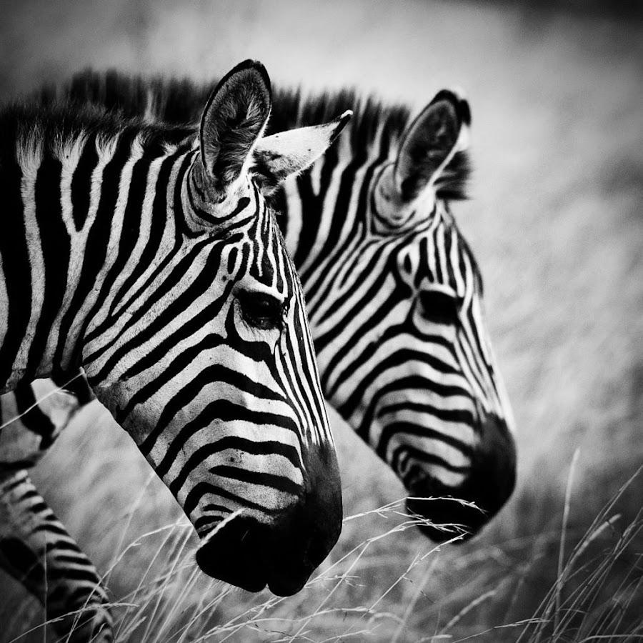 B&W Zebra x 2 by Elsen Karstad - Animals Other Mammals