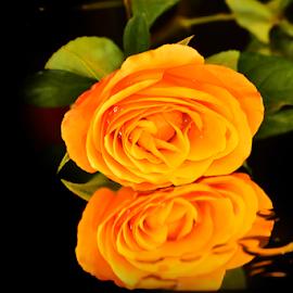 beautyful yellow rose by LADOCKi Elvira - Flowers Single Flower ( nature, plants, garden, rose, flower )