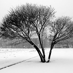 Tree by Philippe Smith-Smith - City,  Street & Park  City Parks ( winter, cold, tree, snow, landscape )
