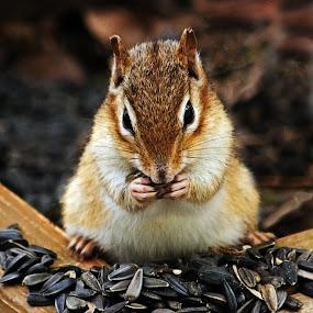 Chipmunk Feast by Jeff Galbraith - Animals Other Mammals ( wooden, furry, chipmunk, sunflower, eating, box, planter, seeds, cute, rodent, mammal )