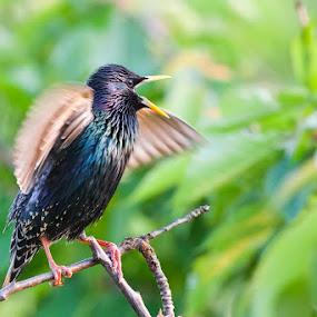 STARLING (STURNUS VULGARIS) by Evžen Takač - Animals Birds ( zvířata, ptáci )