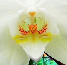 Photo: Phaelenopsis orchid
