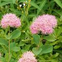 Dense-flowered spiraea