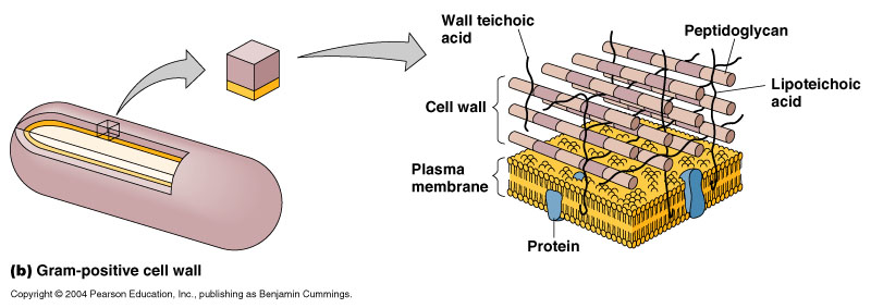 Medicine bca chemistry bacterial cell walls are essentially a peptidoglycan layer that is composed of units of peptides proteins and glycans sugars this layer is the primary ccuart Image collections