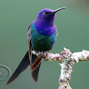 Beija-flor-tesoura (Swallow-tailed Hummingbird)