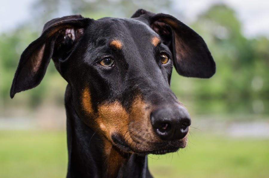 Doberman by Mark Halliday - Animals - Dogs Portraits ( face, dog, doberman, black, portrait,  )