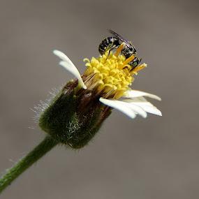 Garden Life ... by Ridzwan Mohd Nor - Nature Up Close Gardens & Produce ( bees, nature, tridax procumbens, gardens, flowers, coat-button flower )