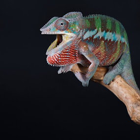 Intimidation by Jen St. Louis - Animals Reptiles ( chameleon, panther chameleon, reptile, colourful, lizard,  )