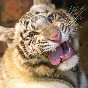 Tiger Head by Neni Wijaya - Animals Lions, Tigers & Big Cats ( safari garden, jabar, indonesia, cow, travel )