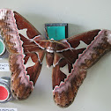 Rothschild's Silk Moth