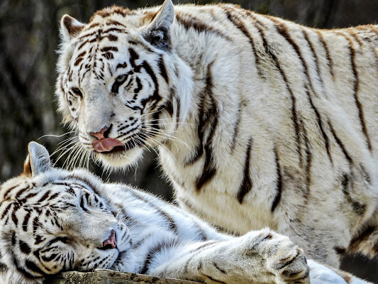 Tigre bianca siberiana