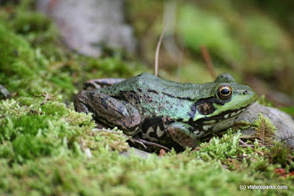 Photo: From Nancy Beauregard:  Frog at Half Moon State Park