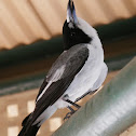 Grey Butcherbird (adult)