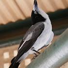 Grey Butcherbird (adult)