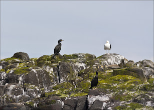Photo: Bird N°38. Great Black Backed Gull ... ... ... ... ... Latin: Larus marinus. .. .... .. (& Two Shags)